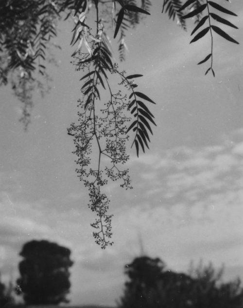 Olive Cotton (Australian, 1911-2003) Pepperina, 1985