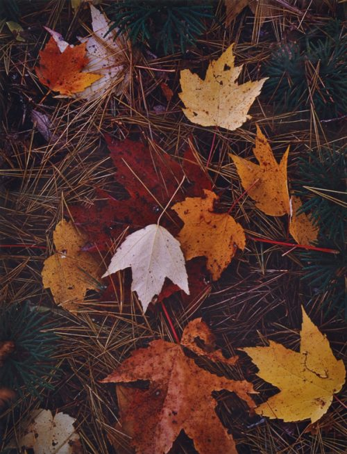 Eliot Porter (American, 1901-1990) Maple Leave and Pine Needles 1956
