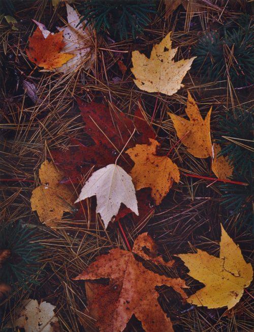 Eliot Porter (American, 1901-1990) Maple Leave and Pine Needles 1956
